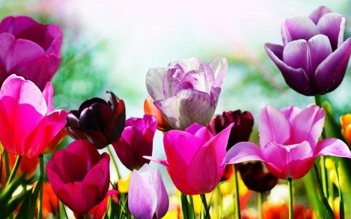 Pomladne-rozice-tulipani